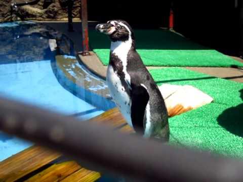 フンボルトペンギンの鳴き声!!