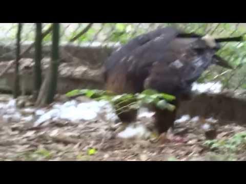 Aguila real - Aviario el Nido (Ixtapaluca Estado de Mexico)