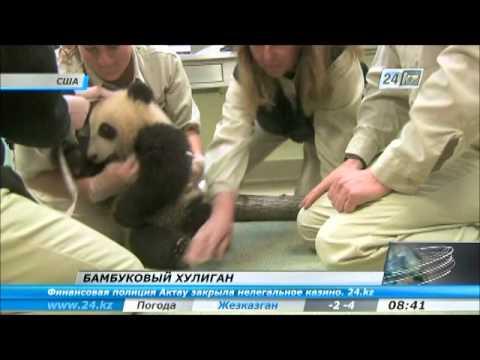 В зоопарке города Сан-Диего появился маленький панда