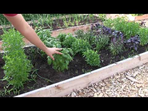 How to Grow Basil - Complete Growing Guide