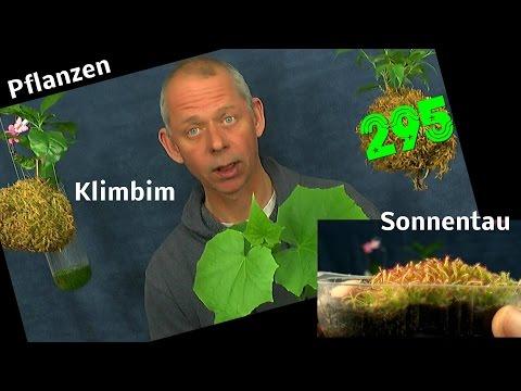 Pflanzen im Haus Anzucht Experimente mit Sonnentau