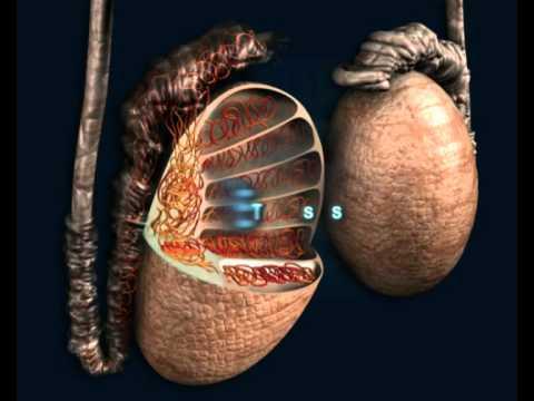 Andrología, El aparato reproductor masculino - Reproducción Asistida NACER