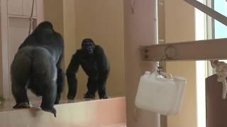 恋の駆け引き シャバーニとネネ③ Shabani & Nene love game gorilla
