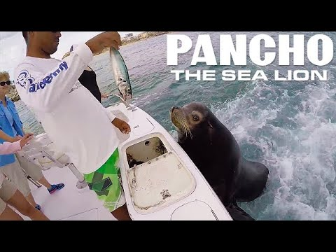 Pancho The Sea Lion - Jumps On Fishing Boats