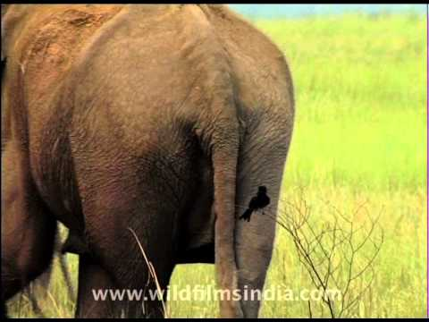 Drongo and the elephant 39 s ass youtube - Elephant assis ...