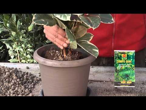 Scheda08 Ficus Broadband High