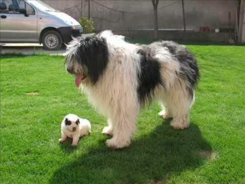 Mioritic Shepherd Dog For Sale