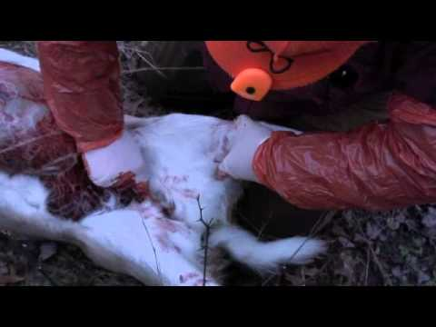 How to gut a deer. Never without Field dressing 3