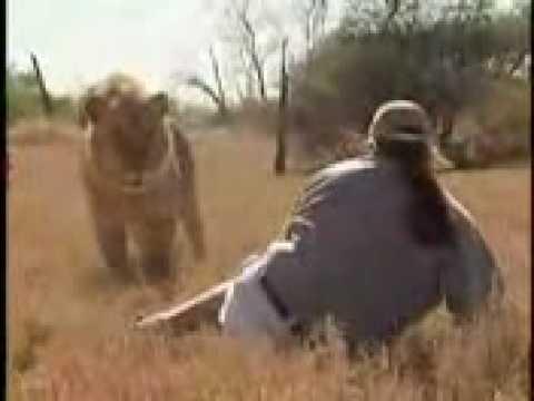 Belgeselci Aslanların Yanına Yaklaşırsa