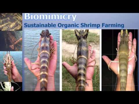 Biomimicry Shrimp Farming Thailand