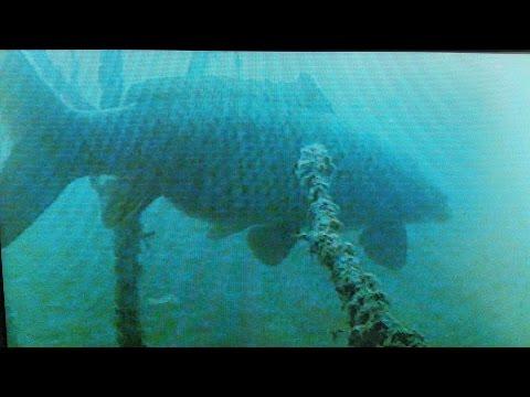 огромные карпы зимуют на большой глубине. подводные видео съемки