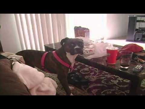 ランチを盗み食いしようとするボクサー犬