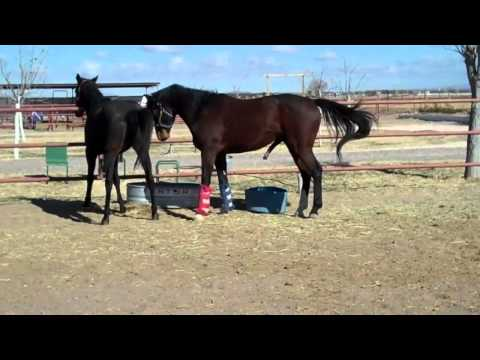Horse Breeding   Part 2   Natural  Breeding Horse   Horse Mating    Thoroughbreds video