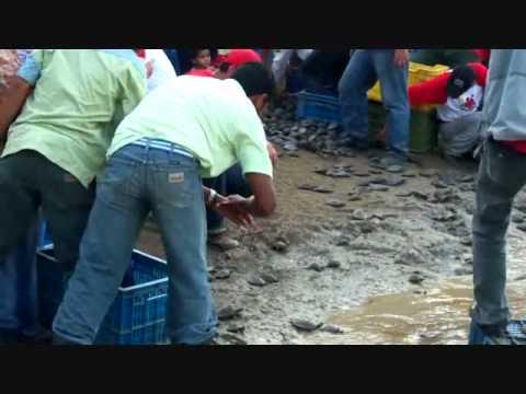 liberación de las tortugas arrau y terecay