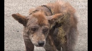 Stray Dog Turned Into A Hyena..   Animal in Crisis EP27