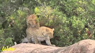 Leopard Mating Many Times On A Day