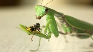 MANTIS RELIGIOSA AND WASP