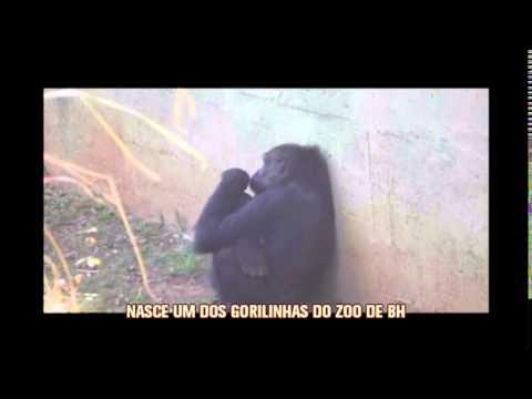 Nasce filhote da gorila Lou Lou no Zoo de BH