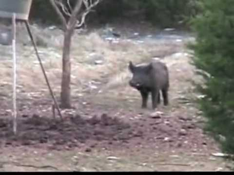 Texas Boar Hog Kill 300 lbs