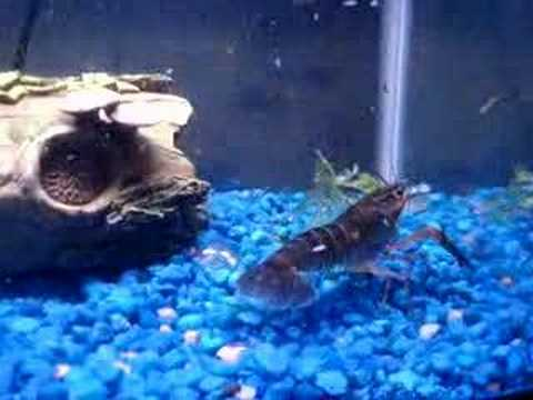 My Blue Lobster Attacking My Killer Frogs - YouTube