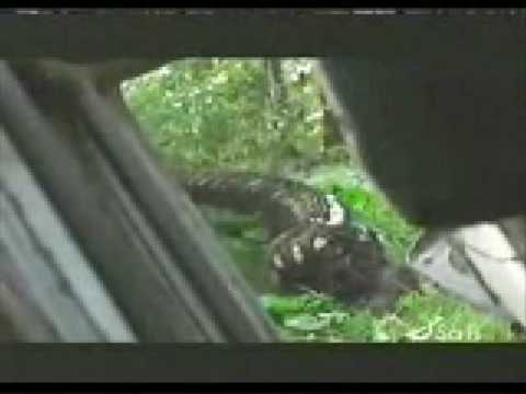 Snake Vore Video