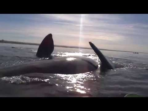 Kayak raised by a whale on Argentinian coast