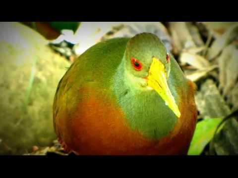 Râle de Cayenne - Grey-necked Wood-Rail  - Aramides cajanea - Birding Orinoquia