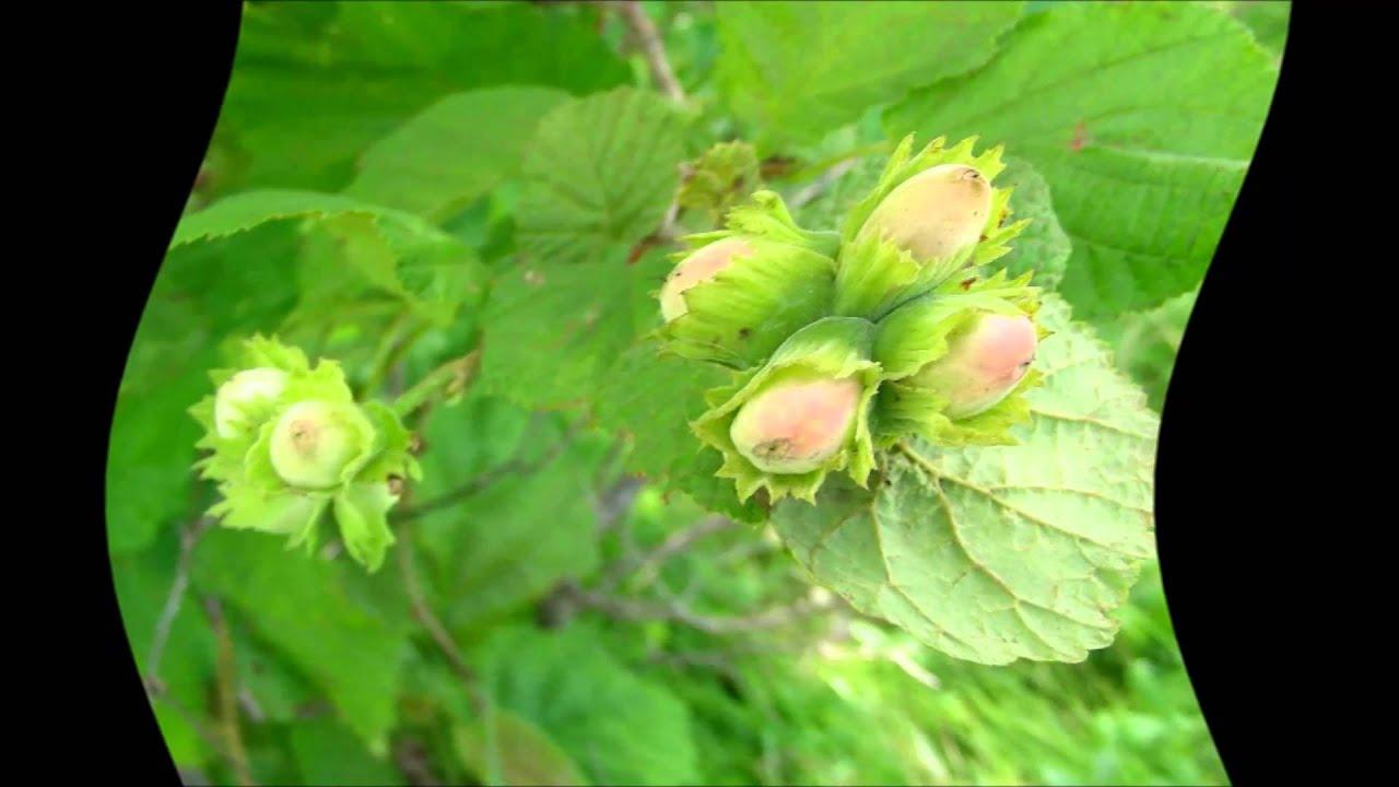 Орехи в Сибири. Лещина, или фундук - Сад Особенности выращивания фундука