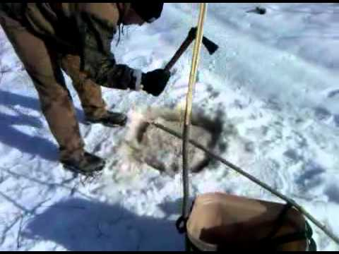 Trapping beaver under ice 1