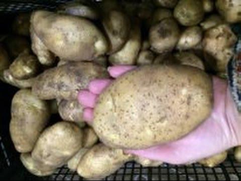 Семенной картофель рассадой – мои отзывы о способе