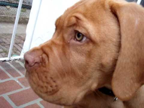 French Mastiff Videos | French Mastiff Video Codes | French Mastiff ...
