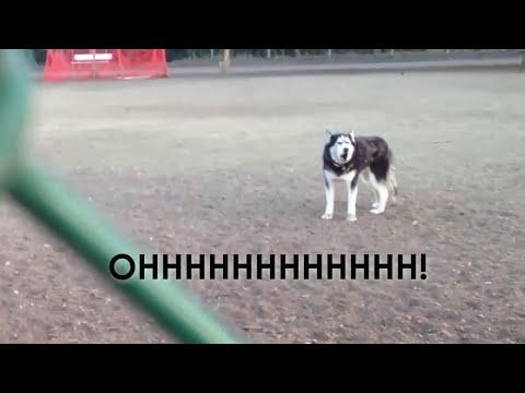Husky no quiere dejar parque para perros