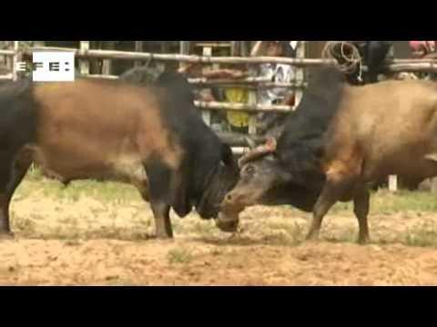 Brigas de búfalos na Tailândia causam paixão e ruína.