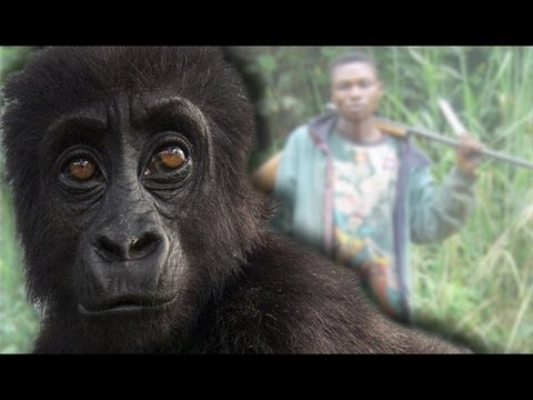 Gorillas Outsmarting Poachers!
