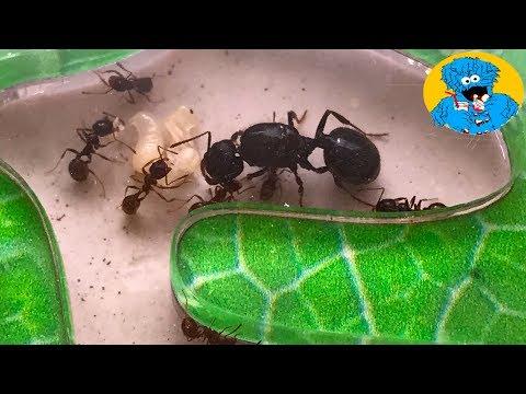 НОВЫЙ ДОМ ДЛЯ МУРAВЬЕВ! Обзор Муравьиной фермы,Формикарий Review Ants Farm Messor Structor