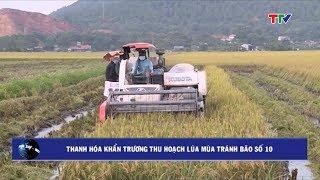 (TTV)Thanh Hóa khẩn trương thu hoạch lúa mùa tránh bão số 10