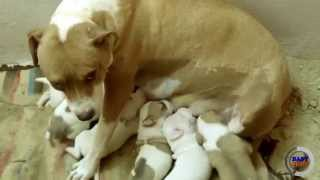 Pitbull Mother and her puppies