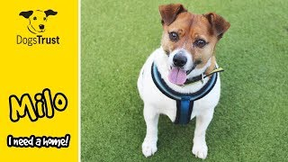 Milo is a Super Cute Jack Russell Terrier! | Dogs Trust Manchester