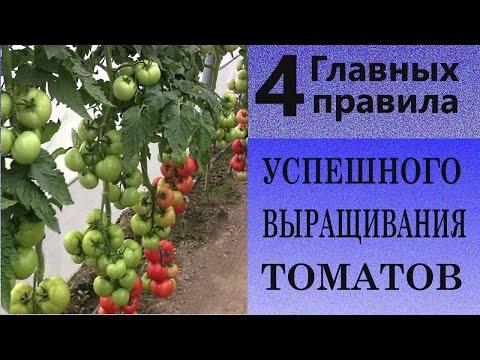 4 главных правила успешного выращивания томатов. Исключаем основные ошибки выращивания томатов