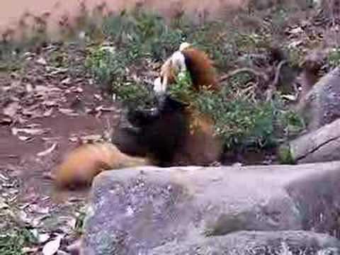 ひとり遊びの仔レッサーパンダ