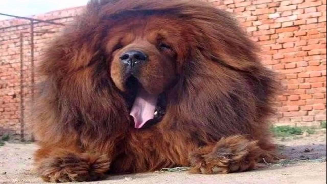 tibetan mastiff attack lion