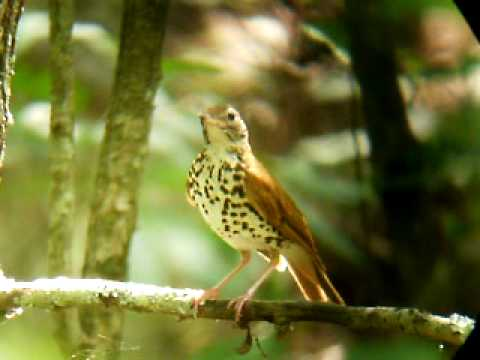 Wood Thrush at Hawn State Park