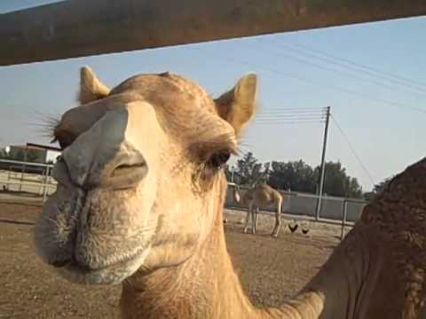 Study Abroad Experiences - Visiting a Camel Farm
