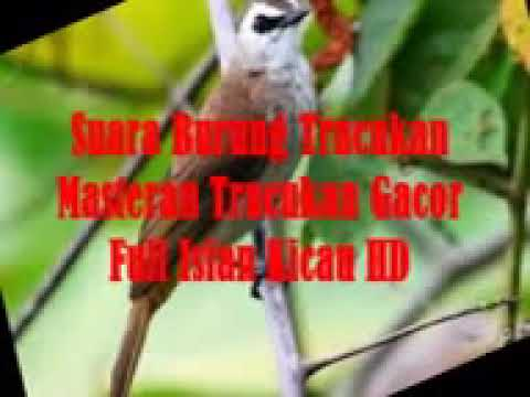 Suara Burung Trucukan Masteran Trucukan Gacor Full Isian Kicau HD