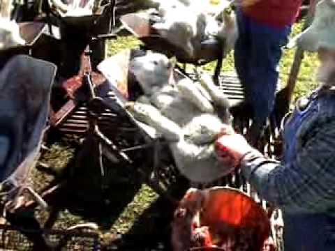 Mulesingミュールジング オーストラリアの羊