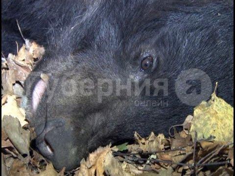 Умирающую медведицу спасли в пригороде Хабаровска.MestoproTV