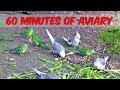 1 Hour Of Aviary 60 Minutes Narration Free Birds Cockatiels Parrots Quail Pheasants Finches mp3