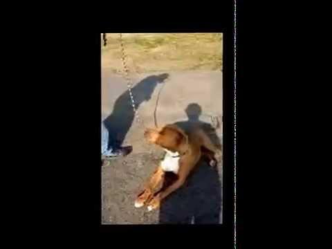 Xena pit bull terrier for adoption