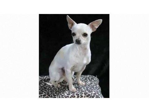 0 Understanding Dog Breeds: Chihuahua