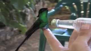 "Doctor Bird ""only"" in Jamaica"